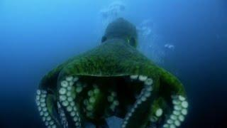 Amazing Octopus - Most Intelligent Animal on Earth? 1080p
